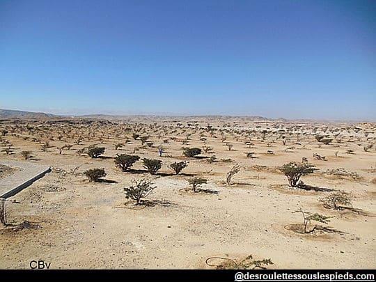 Dhofar-Frankincense