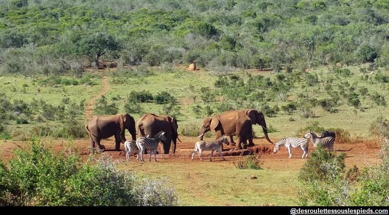 Eléphants zèbres Addo park