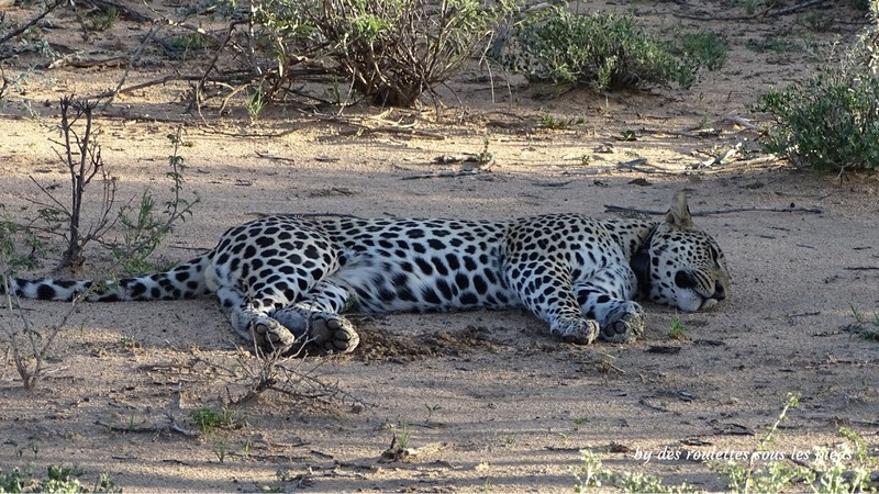 safaris en namibie repos du guépard