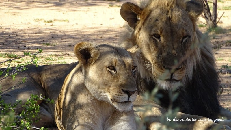 safaris en namibie couple de lions erindi