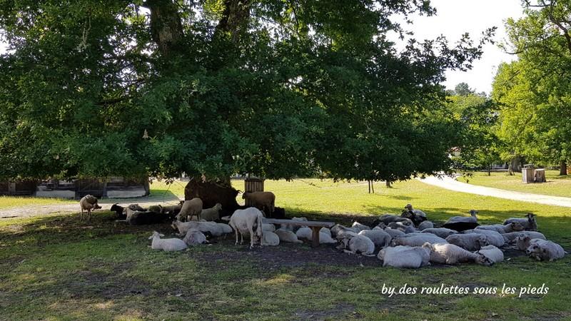 l'éco musée de Marquèze et les moutons sur l'airial