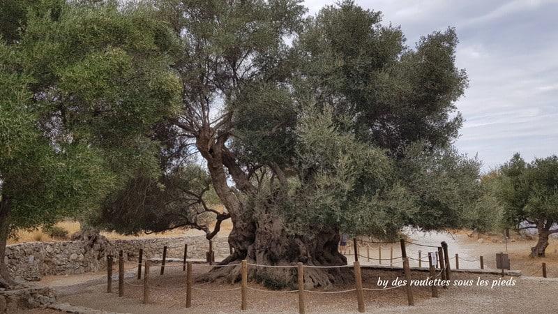 Visiter l'est de la crète le plus vieil olivier