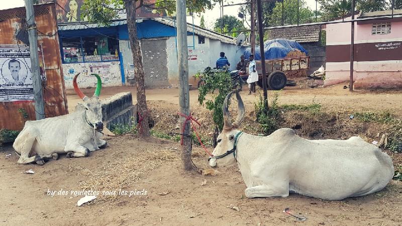 visiter la région de tanjore au tamil nadu buffles décorés