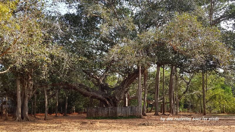 visiter-mahabalipuram-et-pondichery banian géant