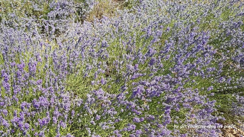 floraison lavande à Sault lavande fine