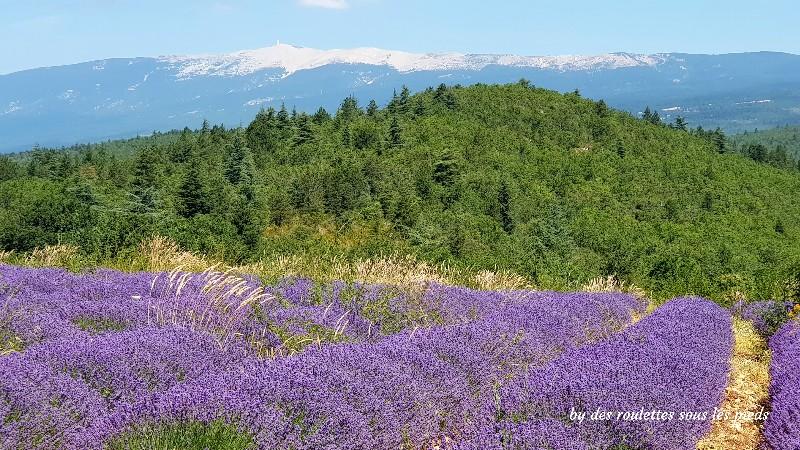 floraison-lavande-sault-mont- ventoux