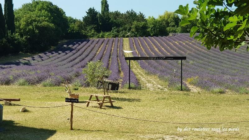 lavande à Aix en Provence champ de Terre Ugo